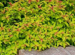 Goldflame Spirea  Plant Profile And Care Tips Listed In Detail
