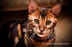 bengal cats for my top collection bengal cat pictures