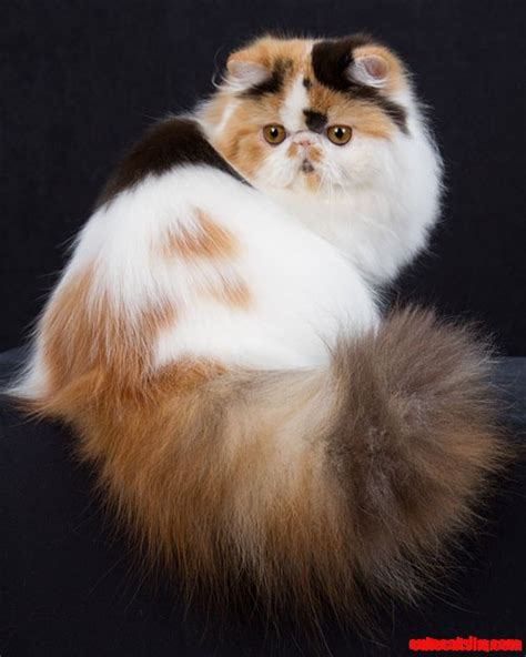 Cute Cats And Kittens Persian Cat Tail