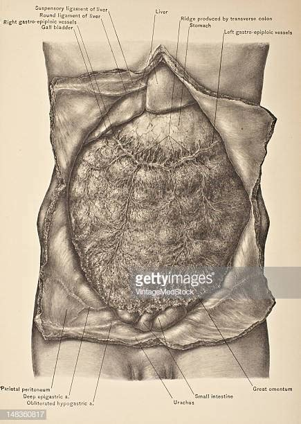 omentum stock   pictures getty images