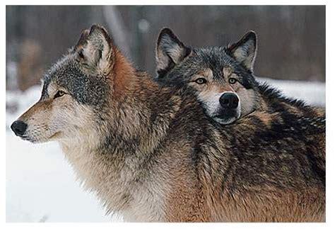 wolves image mod db