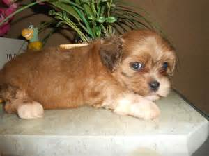 lhasa shih mix of lhasa apso and shih tzu dog breeds picture