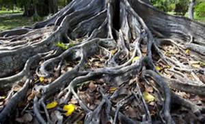 Profondeur Des Racines D Un Figuier : racines de figuier photo stock image du ficus corce 30363338 ~ Carolinahurricanesstore.com Idées de Décoration