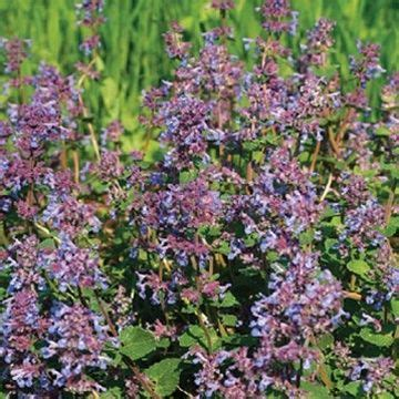 buy catmint plants 16 best images about garden plant tool catalogs on pinterest plants eyeliner and cedar trees