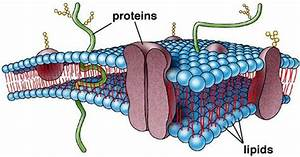 27 Summary Of Cell Membrane