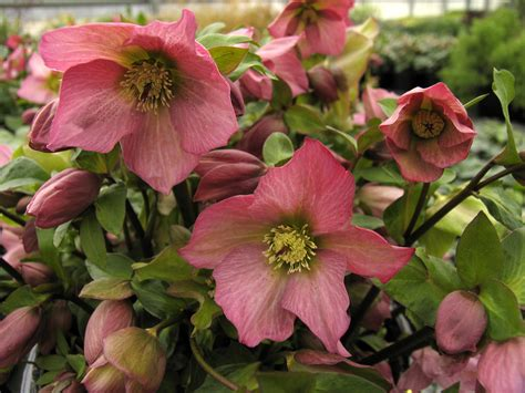 hellebores when to plant top 28 when to plant hellebores breeding hellebores in pictures gardenersworld com