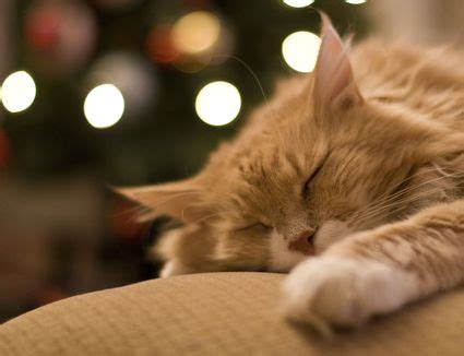 are christmas trees poisonous to cats are trees poisonous to cats and dogs