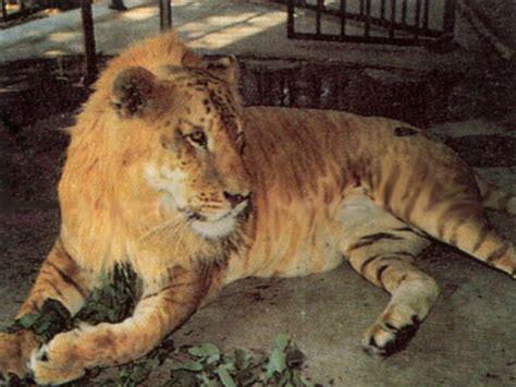 Wonderful Animals Liger, Tiglon And Leopon