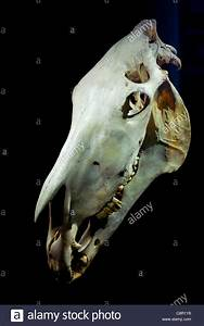 Skull of Old Billy the world's oldest horse 1760 to 1822 ...