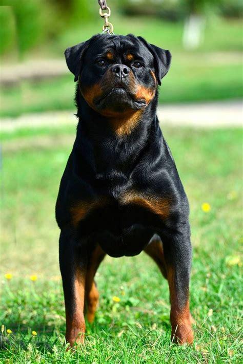 King Rottweilers  Japanac Von Haus Drazic