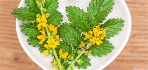 fiori di bach per depressione e ansia fiore di bach agrimony per chi vive sempre in ansia
