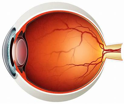 Eye Diagram Eyeball Clipart Transparent Portion Visual