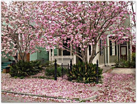 The + Best Japanese Magnolia Tree Ideas On Pinterest