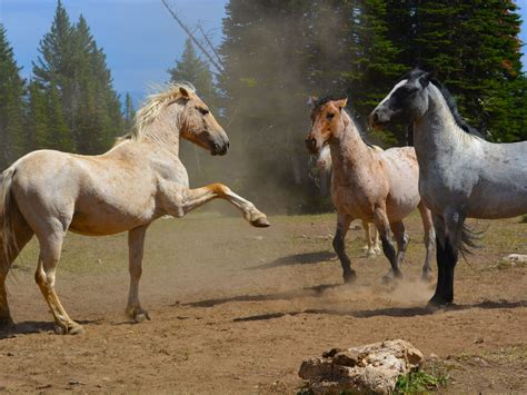 horses wild animals animal endangered north invasive america species there agri pulse pryor field ago years