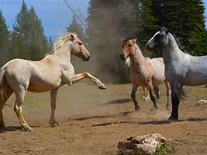 Wild Horses  Endangered Or Invasive