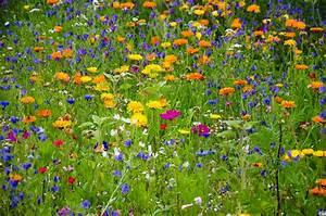 Wiese Mit Blumen : blumenwiese wildblumen kostenloses bild auf pixabay ~ Watch28wear.com Haus und Dekorationen