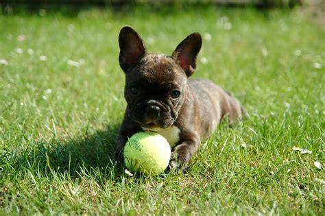 franzoesische bulldogge charakter erziehung welpende