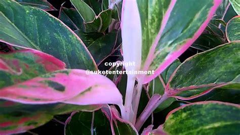 budidaya tanaman hias pesona kecantikan aglaonema kochin