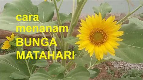 menanam bunga matahari youtube