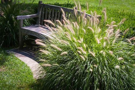 pennisetum alopecuroides hameln hameln grass for sale the tree center