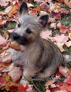 166 best My Cairn Terriers Molly And Max images on