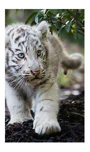 3840x2160 Cute Cub Bengal White Tiger 4K Wallpaper, HD ...