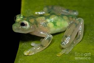 Reticulated Glass Frog Photograph by Dante Fenolio