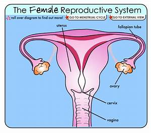 7th Grade Female Reproductive Anatomy Diagram