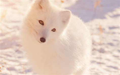mz winter animal fox white flare wallpaper
