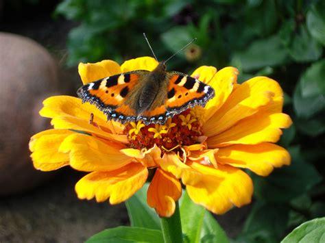 blume schmetterling foto bild tiere wildlife schmetterlinge bilder auf fotocommunity