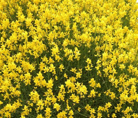 with yellow flowers pictures of yellow flowers beautiful flowers