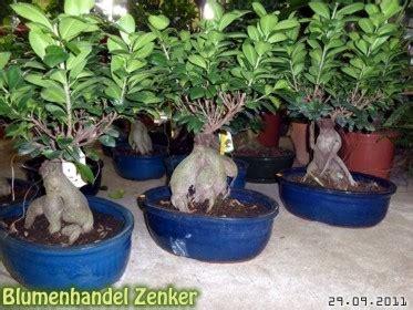 bonsai für anfänger blumenhandel g 228 rtnerei k 246 nigswartha blumenhandel zenker eutricher stra 223 e 8 sortiment