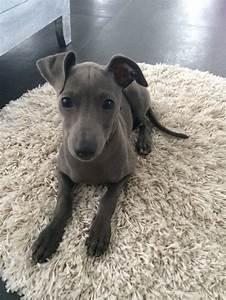 Best 25+ Miniature italian greyhound ideas on Pinterest ...