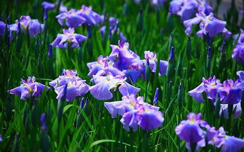 iris flowers free wallpapers iris flower wallpapers
