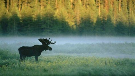 Forest Animal Wallpaper - forest moose nature animals wallpapers hd desktop and