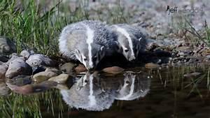 Juvenile Badger Photos | Jeff Wendorff's Photography Blog