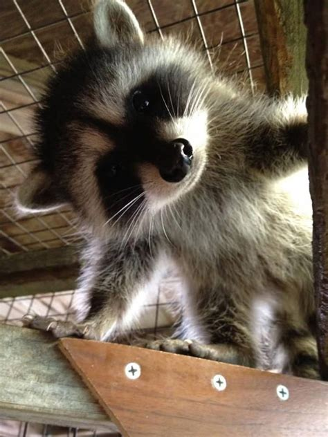 raccoon pictures  prove  cute