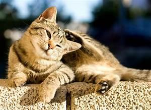 Flea Control in Cats | petMD