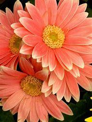 Peach Gerbera Daisy Flowers