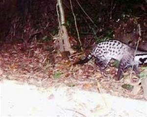 Civet species thought to be extinct found in central ...