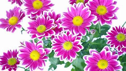 Flowers Yellow Pink Leaves Mobile Wallpapers13