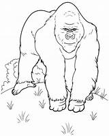 Gorilla Coloring Pages Animals Printable Colouring Comments Library sketch template