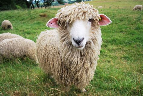 Free Lincoln Longwool Sheep Stock Photo