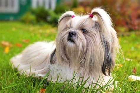 Cute White Puppies Wallpaper 250 Fantastic Shih Tzu Names My Dog 39 S Name