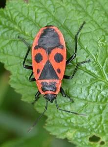 Schwarze Käfer Im Garten : roter k fer mit 2 schwarzen punkten ~ Lizthompson.info Haus und Dekorationen