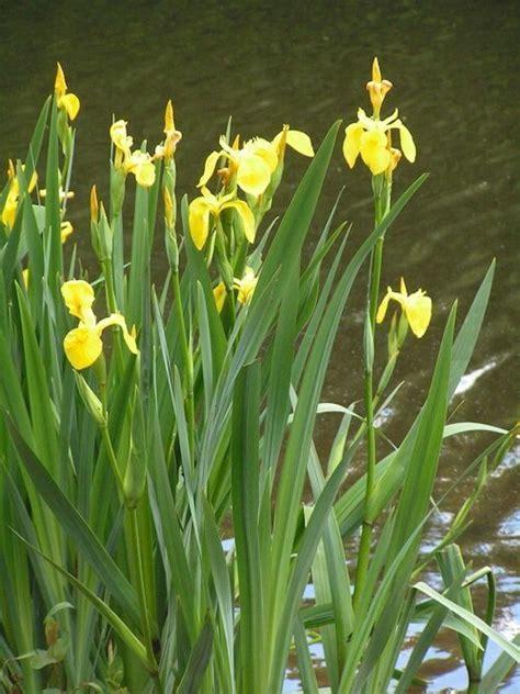 plant water iris plants   backyard pond