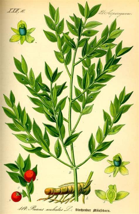maeusedorn heilpflanzen heilkraeuter