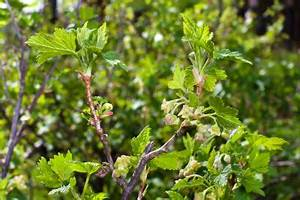 Wann Johannisbeeren Pflanzen : johannisbeeren der beste standort ~ Orissabook.com Haus und Dekorationen