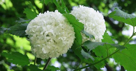 schneeball pflanze schneiden schneeball pflanzen pflege und tipps mein sch 246 ner garten