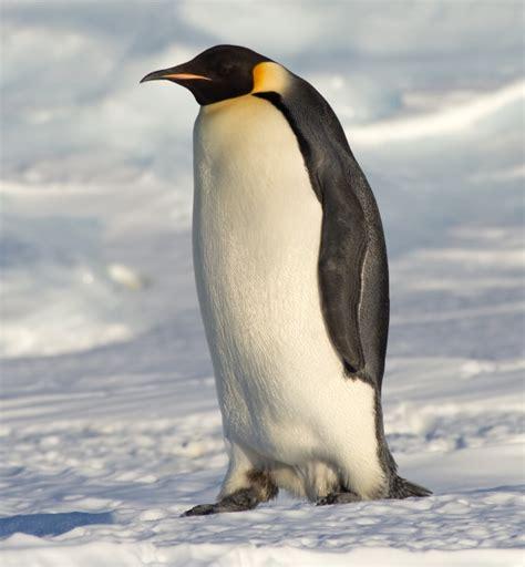 eats  penguin